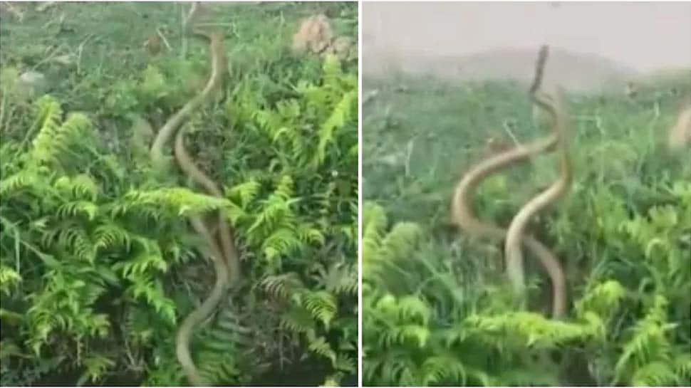 WATCH: இணையவாசிகளை கவர்ந்த பாம்பின் ரொமான்ஸ் வீடியோ..!
