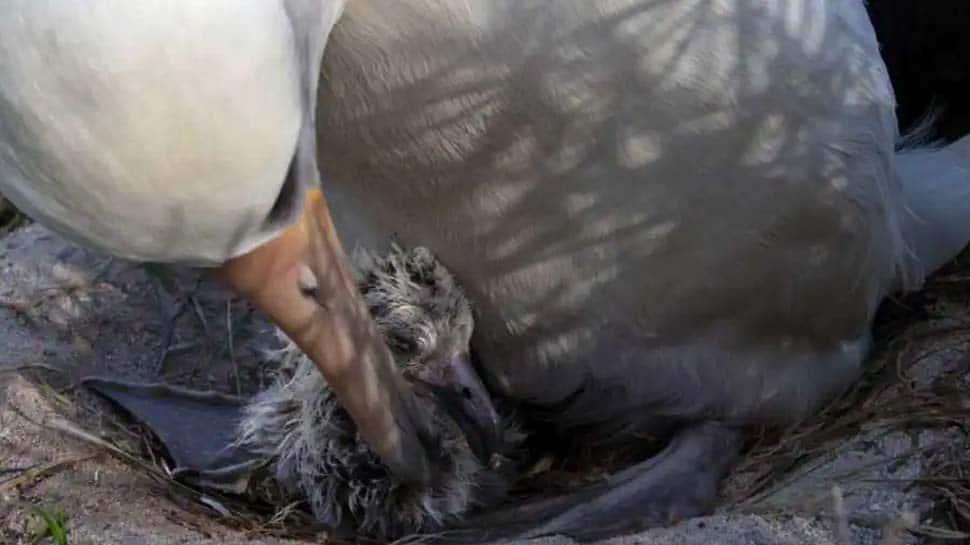 உலகின் அதிக வயதான பறவை 70 வயதில் குஞ்சுகளை அடைகாக்கிறது