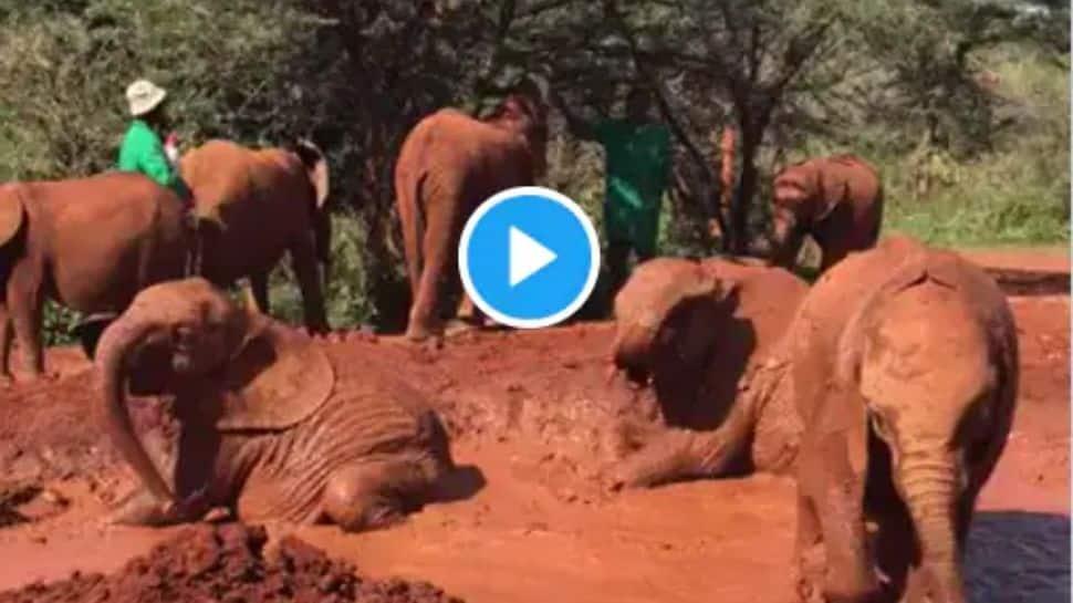 Adorable Video: குதூகலமாக சேற்றில் கும்மாளம் போடும் குட்டி யானைகள்