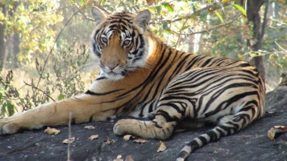 International Tiger Day 2021: துணிச்சலின் சின்னங்களான புலிகளைக் காப்போம்!!
