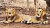 Chennai Zoo: 13 சிங்கங்களுக்கும் கொரோனா இல்லை, பரிசோதனை முடிவுகள் நெகடிவ்