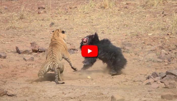Video: புலி-க்கும் கரடி-க்கும் இடையே நடந்த சண்டை காட்சி!