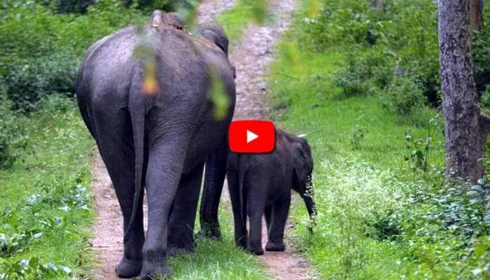 Video: கோவை மாநகரில் ஹாயாக உலா வரும் யானைகள்!