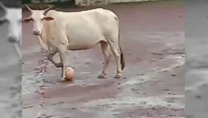 கால்பந்து விளையாடும் 'பசு'; இணையத்தில் வைரலாகும் Video!