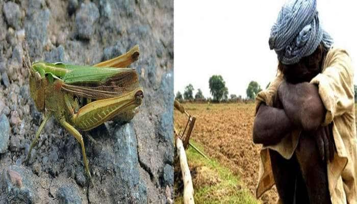 இந்தியாவில் வெட்டுக்கிளிகள் தாக்குதல் தொடரும் என ஐ.நா எச்சரிக்கை
