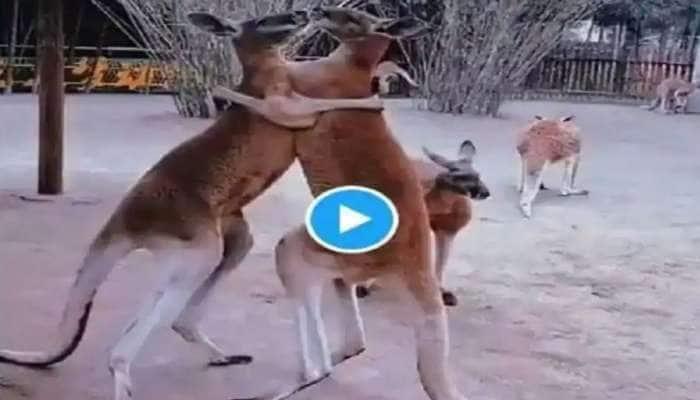 Watch: 'என்னம்மா இப்டி பண்றீங்களேமா'-னு கேட்க வைத்த கங்காருக்களின் வைரல் வீடியோ
