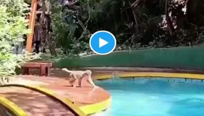 மகாபலேஷ்வர் ரிசார்ட்டில் டைவிங் பார்ட்டியில் குரங்குகள் Watch Viral Video