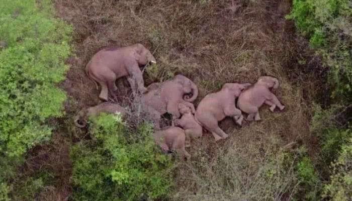 Elephant family: 500 கி.மீ வீதியுலா வரும் சீனாவின் யானை மந்தைகள் Viral