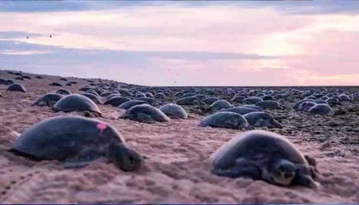 Loggerhead turtles: பருவநிலை மாற்றம்: பூமியின் வடக்குப் பகுதியில் நீண்டதலை ஆமைகள்